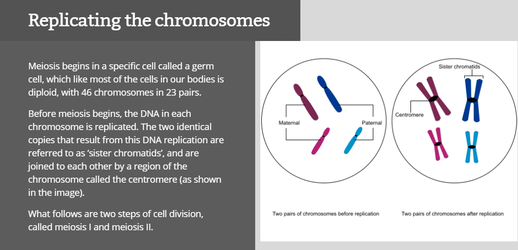 Replicating the chromosomes