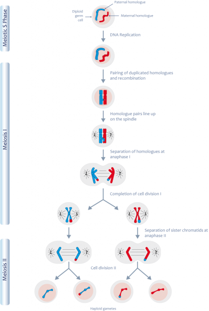 Meiosis Cycle For Kids