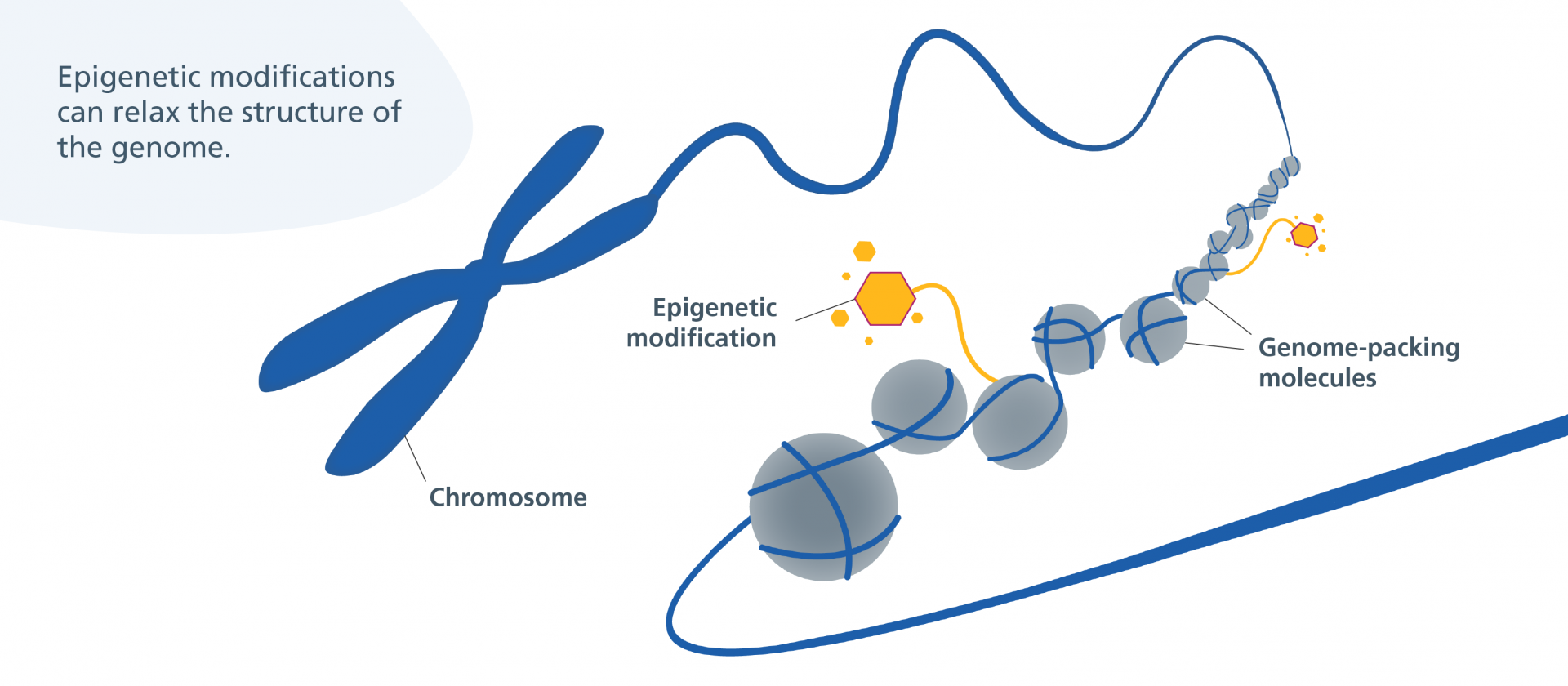 Epigenetic modifications relaxing the structure of the genome by