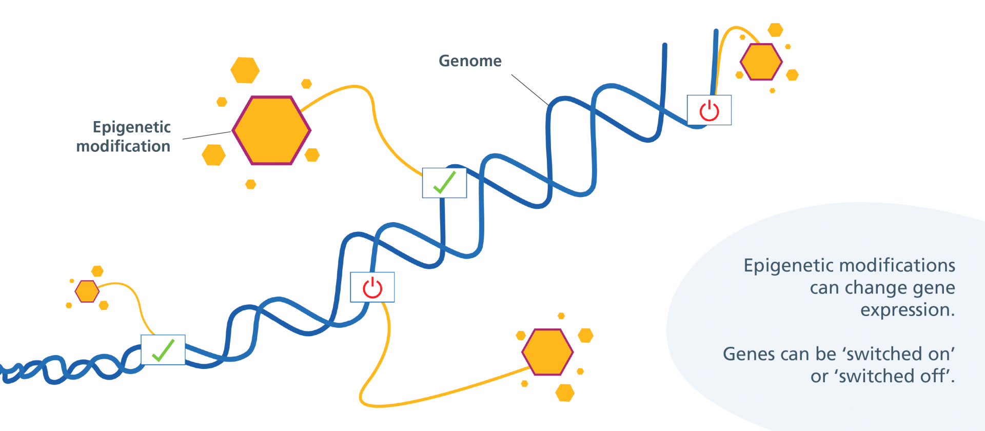 Epigenetic modifications changing gene expression: turning some genes 'on' and some genes 'off'.